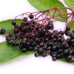 Elderberries and Ladybugs
